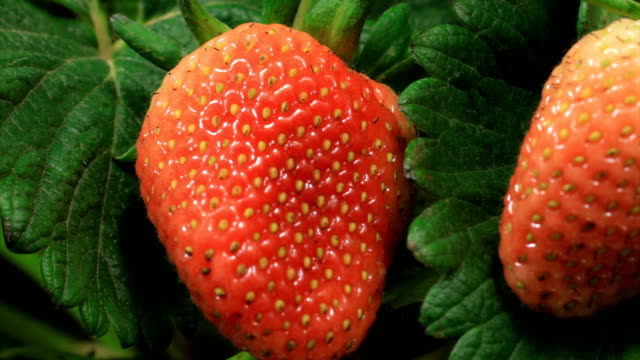 Strawberries ripen on time lapse video