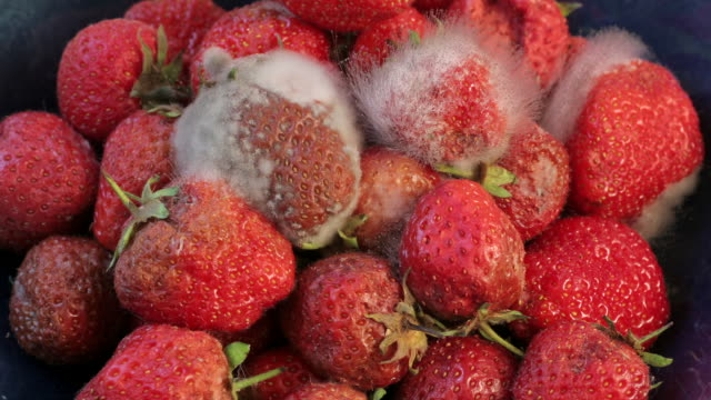 strawberries rotting - pampering stock videos & royalty-free footage