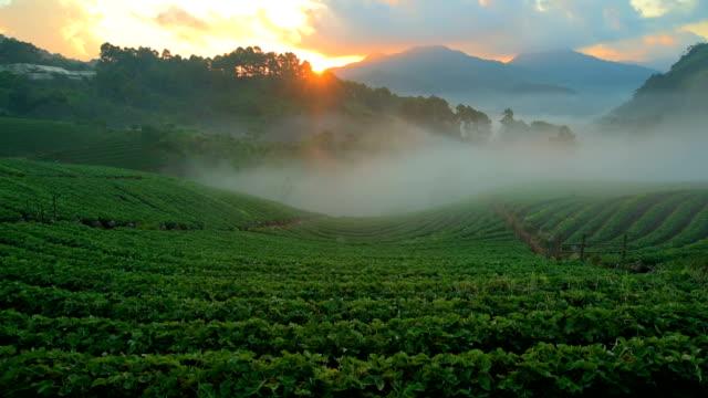 vídeos y material grabado en eventos de stock de fresa farm en doi angkhang, chiangmai, tailandia - fresa