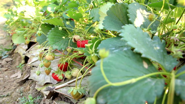 strawberry farm, dolly shot - strawberry stock videos & royalty-free footage