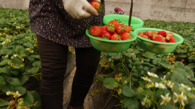 strawberry farm in beijing, now back at work after coronavirus outbreak - fruit stock videos & royalty-free footage