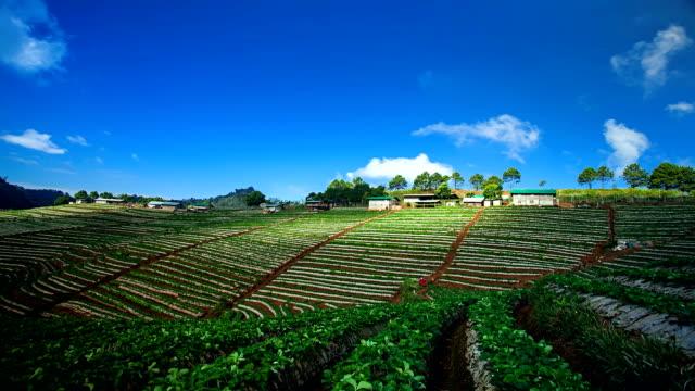 vidéos et rushes de champ de fraises - récolter