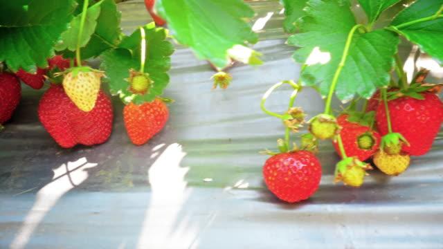 苺畑 - グリーンハウス点の映像素材/bロール