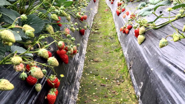 strawberry field - polyethylene stock videos and b-roll footage