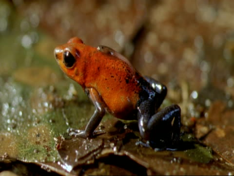 cu strawberry frog (dendrobates pumilio) sitting motionless on leaf, with tadpole on back, costa rica - piggyback stock videos & royalty-free footage