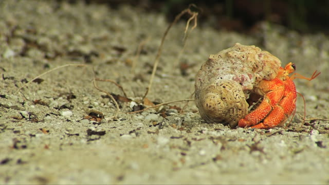 ms strawberry hermit crab slowly moving away / south africa - hermit crab stock videos & royalty-free footage