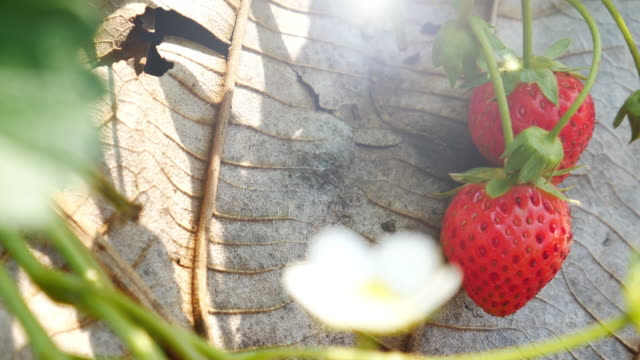Strawberry in the farm , 4k(UHD)