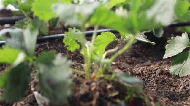 vídeos y material grabado en eventos de stock de granja orgánica de fresa - fresa