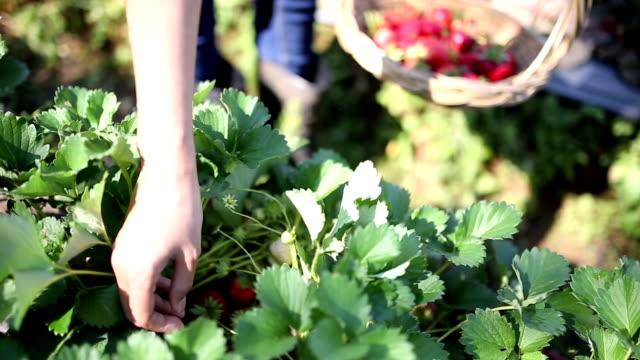 strawberry picking - picking stock videos & royalty-free footage