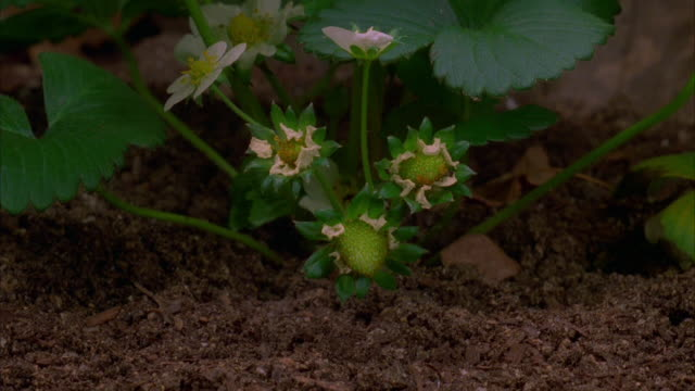 A strawberry plant blossoms and berries emerge Available in HD.