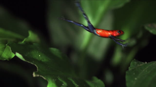 strawberry poison dart frog jumping on leaf - frog stock videos and b-roll footage