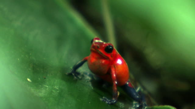strawberry poison dart frog on leaf - frog stock videos and b-roll footage