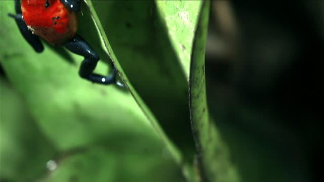 Strawberry Poison Dart Frog on leaf