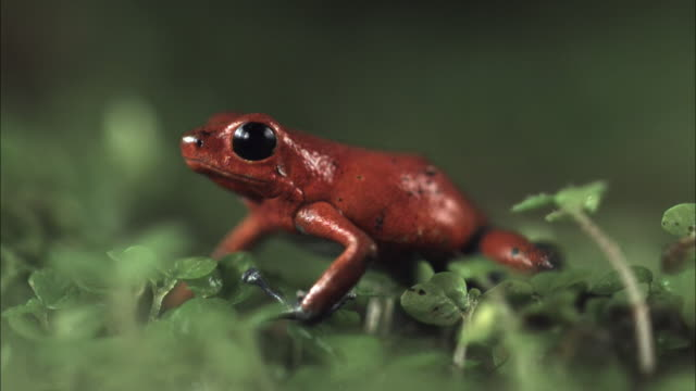 a strawberry poison-dart frog rests on green leaves. - inhaling stock-videos und b-roll-filmmaterial