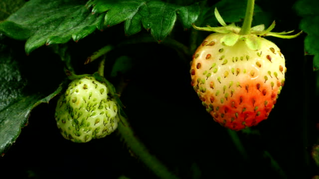 stockvideo's en b-roll-footage met strawberry ripen - rijp voedselbereiding