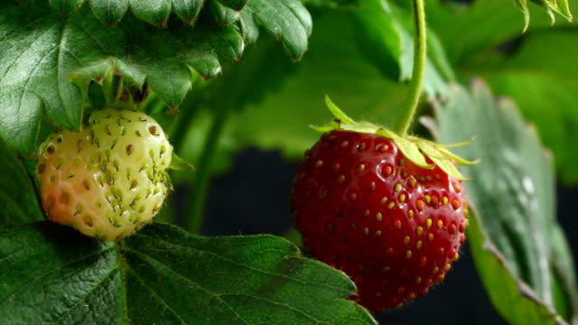 Strawberry ripen
