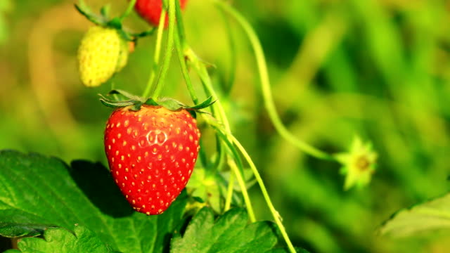 stockvideo's en b-roll-footage met strawberry - sappig