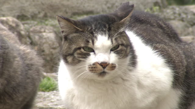 a stray cat in brown tabby on white coat, tokyo, japan - cat blinking stock videos & royalty-free footage