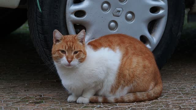 stray cat sitting next to the wheel of a car on the street. - sideways glance stock videos & royalty-free footage