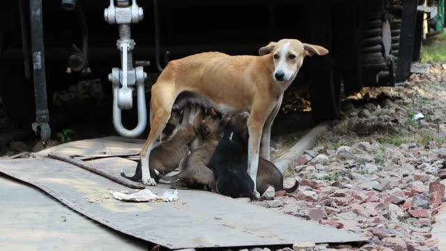 stray dog and puppies, new delhi, india - 迷子の動物点の映像素材/bロール