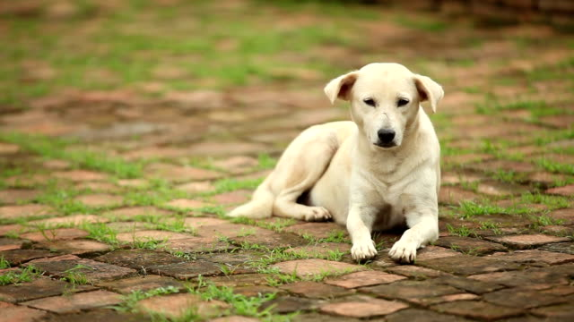 Chien errant bien-être des animaux. Sans-abri dans les ruines du Temple de Thaïlande