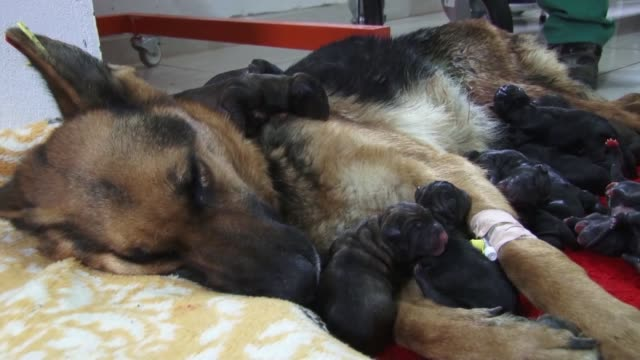 a stray dog in southern turkey gave birth to 16 puppies sunday in a cesarean operation a rare event as dogs generally produce five to six puppies... - 12 13 years stock videos & royalty-free footage