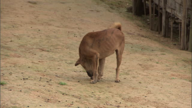 vídeos y material grabado en eventos de stock de a stray dog sniffs the ground on a dirt road. - animales salvajes