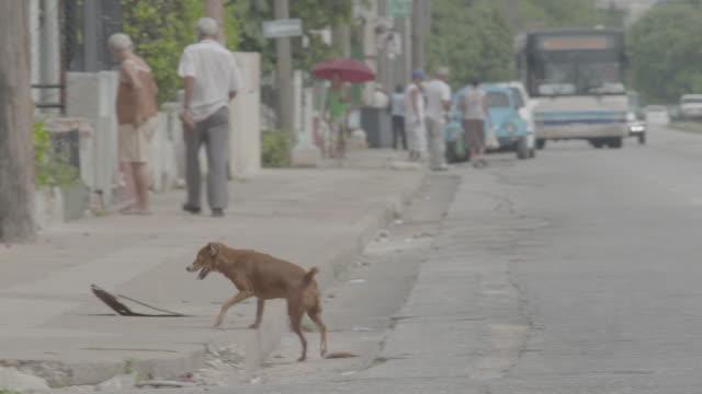 vídeos de stock e filmes b-roll de stray dog walking along city sidewalk - animais selvagens