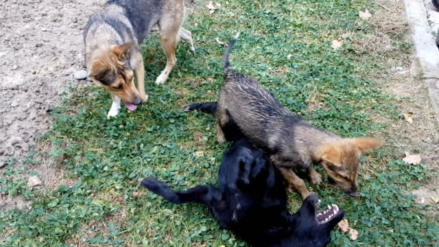 stray dogs fighting in park - medium group of animals stock videos & royalty-free footage
