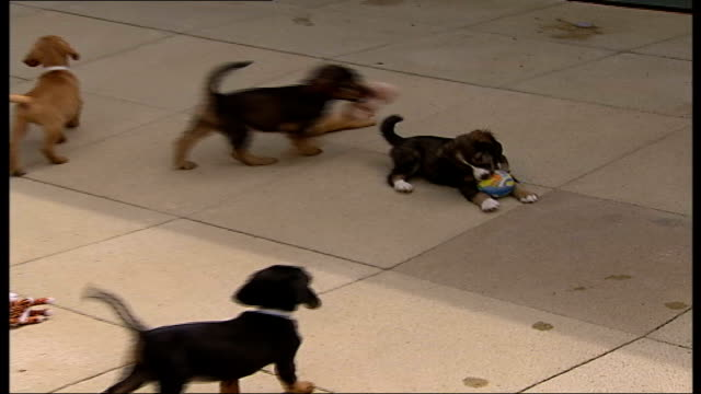 vidéos et rushes de stray dogs on the increase in london; cutaways cute puppy dogs playing in yard - chiot