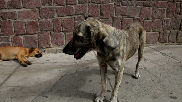 vidéos et rushes de stray dogs on the street in mindelo, cape verde, sao vicente island. - audio disponible en ligne