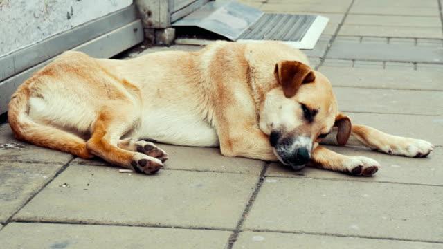 Stray Hunde Ruhen