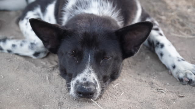 stray dogs sleeping. - assertiveness stock videos & royalty-free footage
