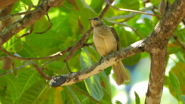 streak-eared bulbul (pycnonotus blanfordi) - animal's crest stock videos and b-roll footage