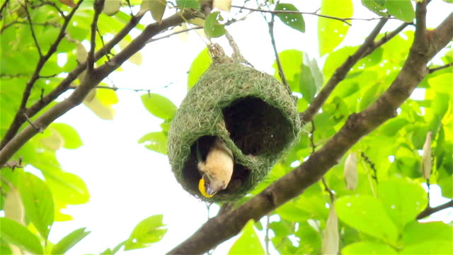 streaked weaver bird makes the nest - animal nest stock videos and b-roll footage
