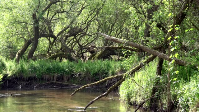 stream and wetland with alluvial forest, biodiversity - alder tree stock videos & royalty-free footage