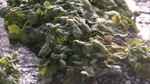 streams of water irrigate a wasabi crop. - wasabi stock videos and b-roll footage