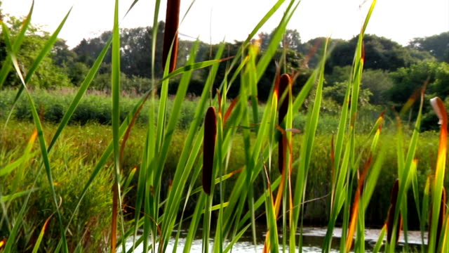 stream-side meadow filled with summer cattails - bulrush stock videos & royalty-free footage