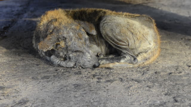 vídeos de stock e filmes b-roll de street dog, dying because of scabies - morte