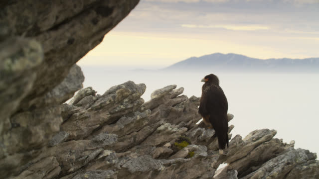 vidéos et rushes de striated caracara (phalcoboenus australis) perched on rocky outcrop, falkland islands - outcrop