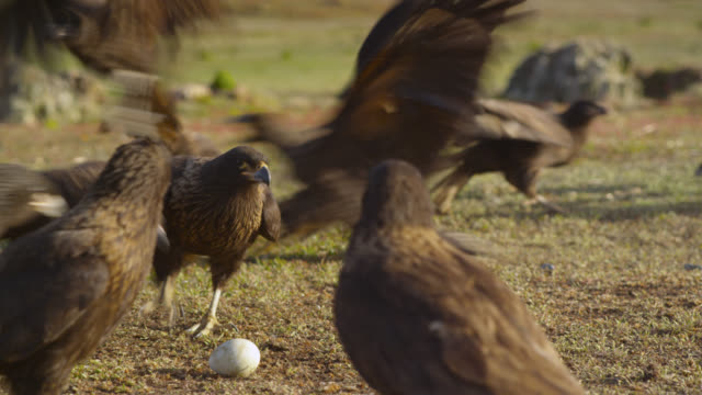 Striated caracaras (Phalcoboenus australis) squabble over egg on tundra, Falkland Islands
