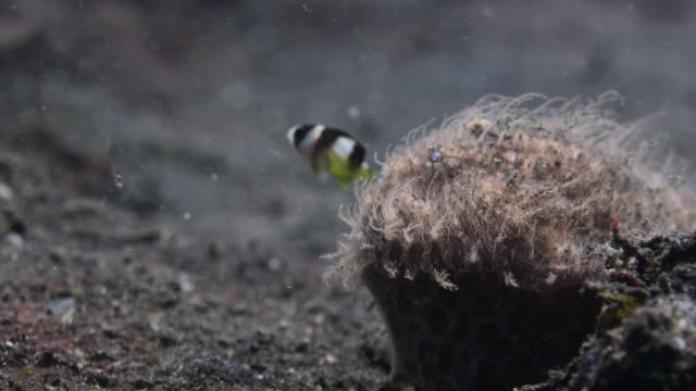 striated frogfish (antennarius striatus) catches damselfish prey, sulawesi, indonesia - feeding stock videos & royalty-free footage