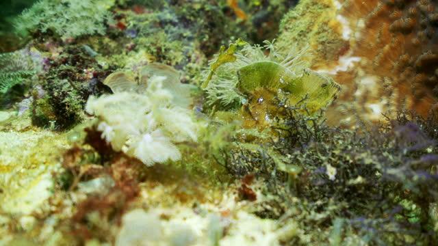 strikingly beautiful marine plants sway gently in slight current in underwater sunshine - kuta, indonesia - 葉状体点の映像素材/bロール