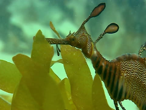 vidéos et rushes de a striped and spotted seahorse flutters its fins as it swims over seaweed. - bbc