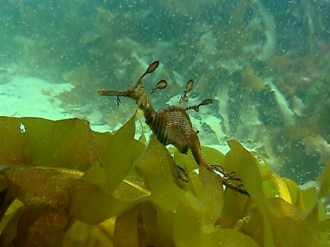 a striped and spotted seahorse swims over seaweed near a sandy ocean floor. - bbc stock videos and b-roll footage