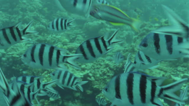 vídeos y material grabado en eventos de stock de ms striped butterfly and black and white striped sergeant major fish / egypt - lábrido