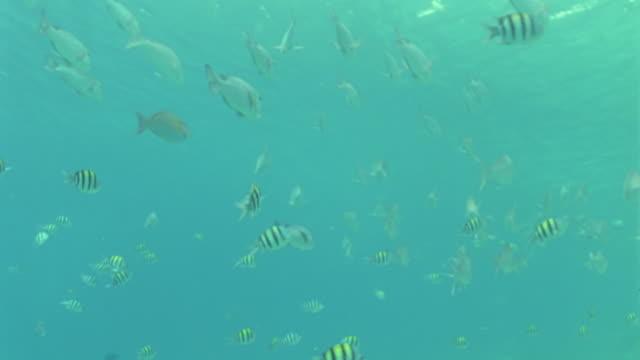 vídeos y material grabado en eventos de stock de ms striped butterfly and wrasse fish swimming over coral reef / egypt - lábrido