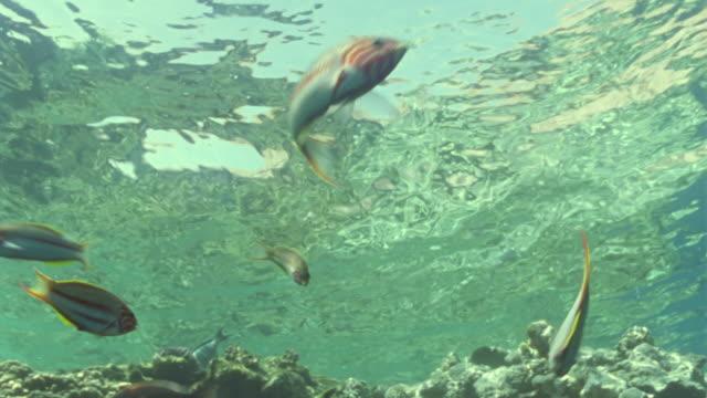 vídeos y material grabado en eventos de stock de ms striped butterfly fish swimming over coral reef / egypt - lábrido