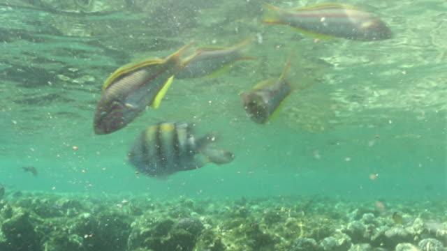 vídeos y material grabado en eventos de stock de ms striped butterfly, wrasse and parrot fish swimming over coral reef / egypt - lábrido