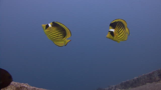 striped butterflyfish - medium group of animals stock videos & royalty-free footage
